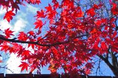 Folhas de plátano vermelhas Fotos de Stock