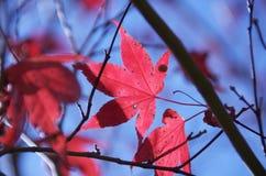 Folhas de plátano vermelhas Imagens de Stock Royalty Free