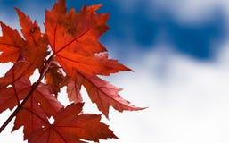 Folhas de plátano vermelhas Fotografia de Stock Royalty Free
