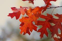 Folhas de plátano vermelhas Autumn Leaf Closeup Cena do parque de outubro com ramo de árvore Foco macio Profundidade de campo ras Fotos de Stock Royalty Free