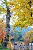Folhas de plátano vermelhas de Yelllow nas árvores no outono Imagens de Stock Royalty Free