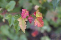 Folhas de plátano vermelhas Fundo ascendente próximo do borrão do outono fotografia de stock royalty free
