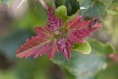 Folhas de plátano vermelhas Fundo ascendente próximo do borrão do outono fotos de stock royalty free