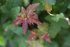 Folhas de plátano vermelhas Fundo ascendente próximo do borrão do outono fotografia de stock