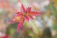 Folhas de plátano vermelhas Fundo ascendente próximo do borrão do outono foto de stock royalty free
