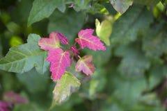 Folhas de plátano vermelhas Fundo ascendente próximo do borrão do outono imagem de stock royalty free
