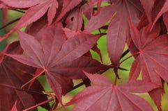 Folhas de plátano vermelhas japonesas Fotos de Stock Royalty Free