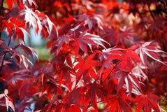 Folhas de plátano vermelhas japonesas de Acer Fotos de Stock