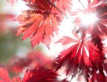 Folhas de plátano vermelhas na luz solar Foto de Stock Royalty Free