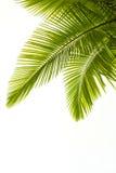 Folhas de Plam isoladas no branco Fotografia de Stock Royalty Free