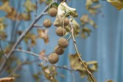 Folhas de Platan com close-up dos frutos Bola pontudo da castanha planta que pendura um ramo com botões Durian imagem de stock