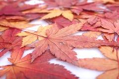 Folhas de plátano do vermelho do outono Fotografia de Stock