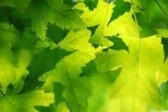 Folhas de plátano verdes Imagem de Stock