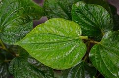 Folhas de Plu, ervas Tailândia Fotos de Stock