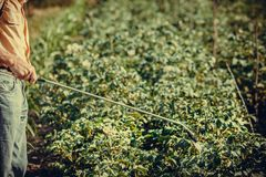Folhas de pulverização do homem das batatas fotografia de stock