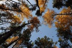 Folhas de queda Fotografia de Stock