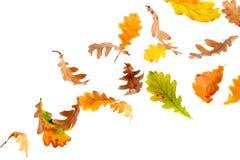 Folhas de queda do carvalho Fotografia de Stock