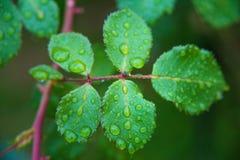 Folhas de Rosa após a chuva Fotografia de Stock Royalty Free