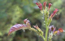 Folhas de Rosa cobertas com o piolho de planta pequeno imagens de stock