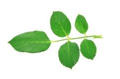 Folhas de Rosa isoladas no fundo branco Fotografia de Stock