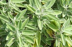 Folhas de Sage Green para preparar o assado Imagens de Stock