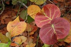 Folhas de Seagrape (uvifera de Coccoloba) foto de stock royalty free