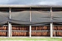 Folhas de secagem do tabaco Fotografia de Stock Royalty Free
