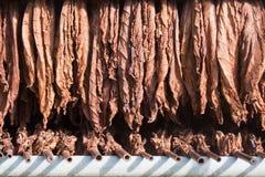 Folhas de secagem do tabaco Fotografia de Stock