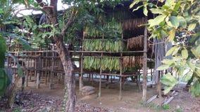 Folhas de secagem do tabaco Foto de Stock