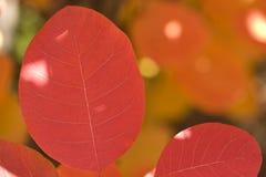 Folhas de Sumac Fotos de Stock Royalty Free
