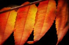 Folhas de Sumac Fotografia de Stock