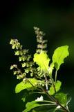 Folhas de Tulsi Imagem de Stock