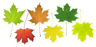 Folhas de um bordo Imagem de Stock