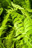 Folhas de um fern novo foto de stock