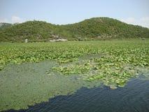 Folhas de um lírio de água Fotos de Stock