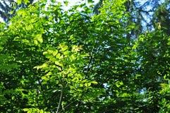 Folhas de uma árvore de cinza comum no sol da manhã Imagem de Stock Royalty Free