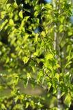 Folhas de uma árvore de vidoeiro Fotos de Stock Royalty Free