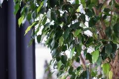 Folhas de uma árvore decorativa em um vaso de flores houseplant Foto de Stock Royalty Free