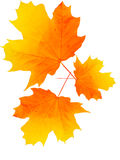 Folhas de uma árvore um bordo Fotografia de Stock