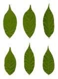 Folhas de uma glicínia Imagens de Stock