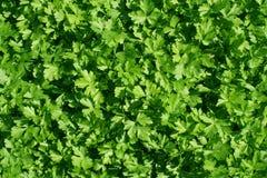 folhas de uma salsa, fundo do verde Imagens de Stock Royalty Free
