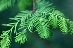 Folhas de uma sequoia vermelha de alvorecer imagens de stock