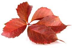 Folhas de uvas selvagens Foto de Stock