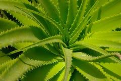 Folhas de vera do aloés. Imagens de Stock Royalty Free