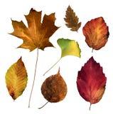 Folhas de Virgínia (1) Fotos de Stock