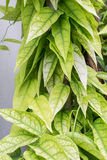 Folhas de Yanang; Tiliacora Triandra Imagens de Stock Royalty Free