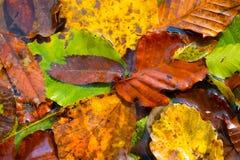 Folhas Deciduous fotografia de stock