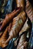 Folhas Deciduous fotografia de stock royalty free