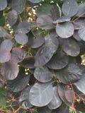 Folhas densas de Smokebush após a chuva com flor em botão foto de stock royalty free