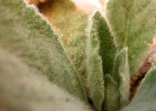 Folhas distorcido da planta peludo fotografia de stock